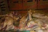 اللحوم الفاسده تدخل الفيوم للمره المليون