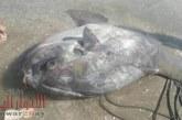 سمكة الشمس النادرة تظهر لأول مرة على شواطئ البحر المتوسط ببورسعيد